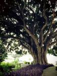 Banyon Tree at Placida2